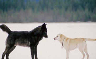 الكلب والذئب.. أيهما أذكى؟