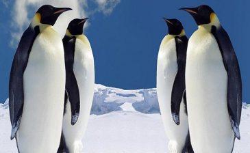 باحثون: روث البطريق يحتوي على كميات كبيرة من العناصر المغذية