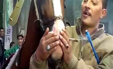 هذا ما حدث للحصان بعد إجبارة على شرب الحشيش في فرح شعبي