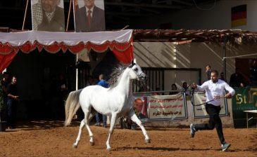 """اختتام مسابقة """"جمال الخيول العربية"""" التاسعة في فلسطين"""