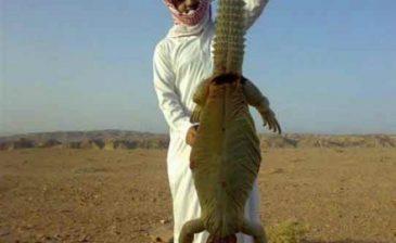 """سعودي يبيع """"ضب"""" لأمريكي على أنه ديناصور منقرض من الجزيرة العربية ب7 مليون دولار!!"""
