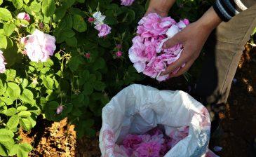 العمل في قطاف الورد تجربة سياحية فريدة في إسبارطة التركية